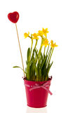 Daffodils in pink bucket with red heart Stock Photo