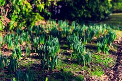 Daffodils plants about to bloom. In a meadow with sunlight on them Royalty Free Stock Images