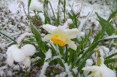 Daffodils pod śniegiem - anomalia obraz royalty free