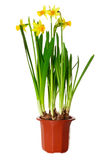 Daffodils in pot Royalty Free Stock Photo