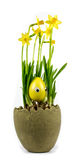 Daffodils in a pot on a white background Stock Image