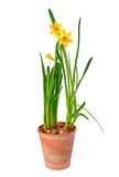 Daffodils in pot. Yellow daffodils in pot isolated over white background, narzissus royalty free stock images