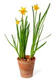 Daffodils in pot. Yellow daffodils in pot isolated over white background, narzissus stock photography