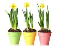 Daffodils Potted foto de stock