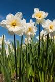 Daffodils in primavera Immagine Stock Libera da Diritti