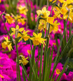 Daffodils and primulas. Shallow focus on daffodil flowers with a very colorful display of pink Primroses behind Stock Images