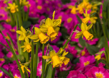 Daffodils and primulas. Central focus on Daffodils surrounded by bright pink Primroses Royalty Free Stock Photos
