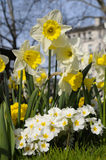 Daffodils and primulas in a park in Central London Royalty Free Stock Photo