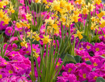 Daffodils and primulas. Daffodils surrounded by bright pink Primroses Royalty Free Stock Photography