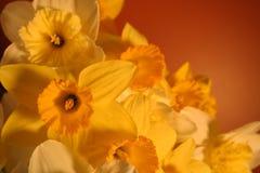 Daffodils procedenti in sequenza Immagine Stock Libera da Diritti