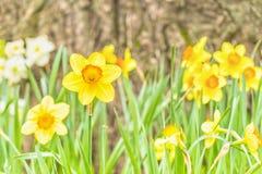 Daffodils przy stopą drzewo Obrazy Stock