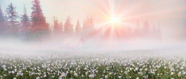 Daffodils przy wschodem słońca Zdjęcie Royalty Free
