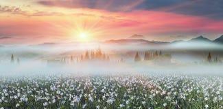 Daffodils przy wschodem słońca Obrazy Stock