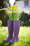 Daffodils R Z Purpurowych Wellington butów Obraz Stock