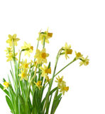 Daffodils with rain drops isolated Stock Photos