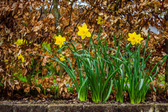 Daffodils in the rain Royalty Free Stock Image