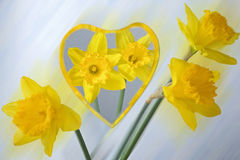 Daffodils reflected in a mirror Stock Image