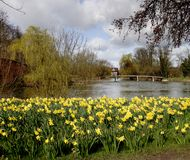 Daffodils on the Riverbank. Spring Daffodils on the Bnaks of the River Thames in England with Bridge in the background Stock Photography