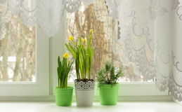 Daffodils and rosemary on windowsill Royalty Free Stock Photo