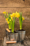 Daffodils on Rustic Background Portrait Royalty Free Stock Image