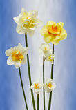 Daffodils. Several different Daffodils on a blue and white background Stock Image