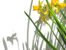 Daffodils and shadows Royalty Free Stock Image