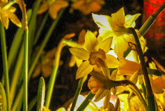 Daffodils Shine Stock Images