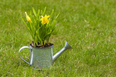 Daffodils in silver watering can on fresh green grass Royalty Free Stock Photography