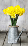 Daffodils in silver watering can on grey wooden table Stock Photography