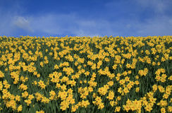 Daffodils and sky. A field of daffodils and blue sky with white clouds royalty free stock photo