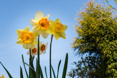Daffodils in the Sky Royalty Free Stock Photography