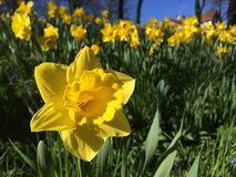 Daffodils in slope. Sea of dafdodils in gentle slope Royalty Free Stock Photography
