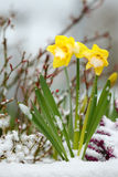 Daffodils and Snow, Spring Thaw Royalty Free Stock Photography