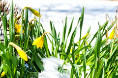 Daffodils in snow Royalty Free Stock Photo