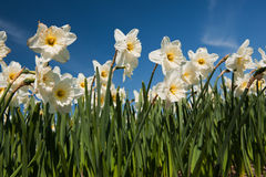 Daffodils in spring Royalty Free Stock Photo