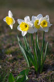 Daffodils in spring royalty free stock photography