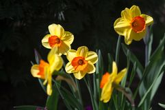 Daffodils in spring Royalty Free Stock Image