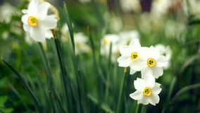 Daffodils spring flowers tossed outdoors stock footage