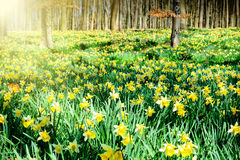 Daffodils in spring forest Royalty Free Stock Photo
