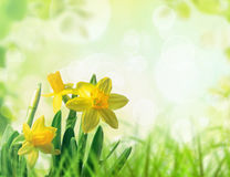 Daffodils in spring grass Royalty Free Stock Photos
