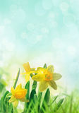 Daffodils in spring grass Stock Images