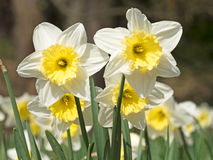 Daffodils in the spring Stock Images