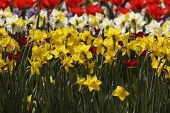 Daffodils in spring, Netherlands Stock Photos