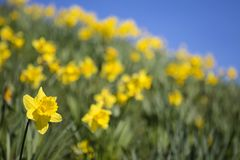 Daffodils During the Spring Season Royalty Free Stock Photos