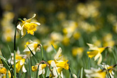Daffodils in spring with short depth of field. A garden of daffodils in spring in bright afternoon light. Photo has short depth of field, with focus on the near Royalty Free Stock Photo