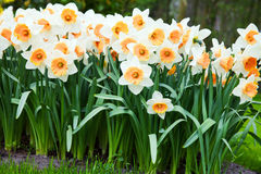 Daffodils in spring time Royalty Free Stock Images