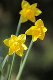 Daffodils in spring Stock Photography