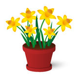 Daffodils. Spring yellow daffodils growing in red pot Stock Illustration