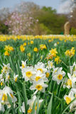 Daffodils in springtime. A field of yellow and white daffodils in spring stock photos