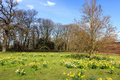 Daffodils in springtime at an English countryside. Sunny meadow with daffodils in full bloom Royalty Free Stock Photos
